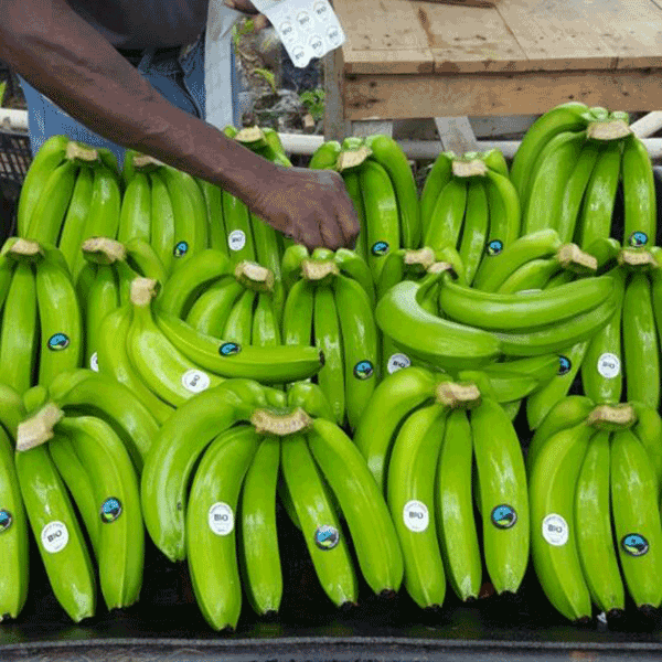 Mibio organic bananas sourced from reputable producers and exported from the Dominican Republic.